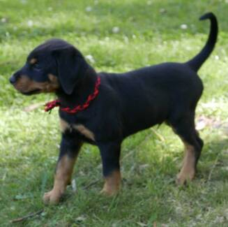 Biggest boy of the litter - Rotterman (Dobie x Rottie)