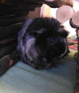 "Adult Male Small & Furry - Guinea Pig: ""Bandit"""