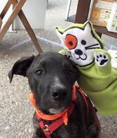 "Young Male Dog - Cane Corso Mastiff-Pit Bull Terrier: ""Zeek"""