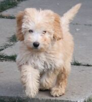 Goldendoodle Guardian Homes Required