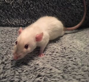 Young Dumbo Male Rats