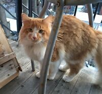 Chat Roux Trouvé/ Long haired ginger cat found