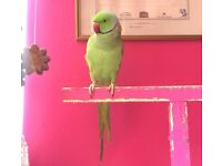 Talking Ringneck parrot with cage (price is negotiable)