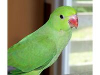 Gorgeous baby Green ring neck Talking Parrot