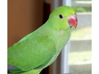 Gorgeous baby green ring neck Talking Parrot