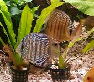 Discus Fish For sale Cranbourne East Casey Area Preview