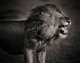 David Lloyd Photography limited edition black and white print, Flehmen Response, 80cm framed.
