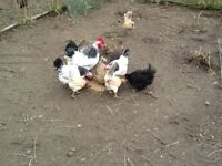 Light Sussex Bantams