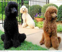Male Standard Poodle - 1 to 5 years old : WANTED