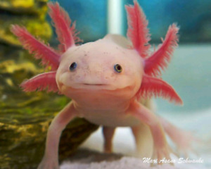 Looking for an axolotl with established tank!