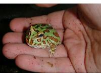 Pacman frogs for sale