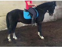 14.2hh honest 5 year old Gelding for sale