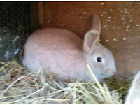 Baby rabbits ready to go now - 1 left
