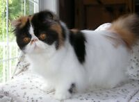 Exotic and Persian Calico Adults