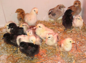 Baby Chicks Well Started - 5 Days Old