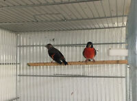 Pair red Siskin for sale