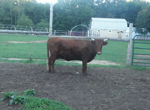 **REDUCED**   BRED COW Kawartha Lakes Peterborough Area image 2