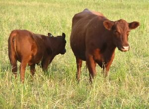 Purebred Red Angus for Sale -Top Pedigrees, EPD's & Conformation