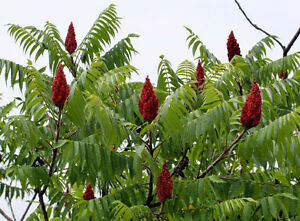 STAGHORN SUMAC TREE SEEDS AND SAPLINGS