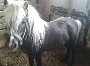 mini horse stud services