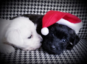 I'll be Home for Christmas!  Adorable Westipoos