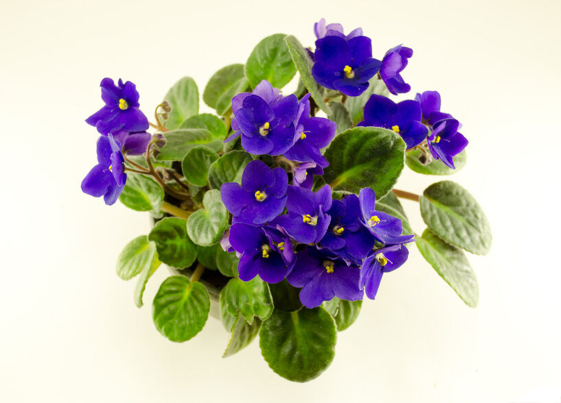 A Basic Gardening Guide to African Violets