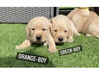 One Boy One Girl Left!!ReadyToLeave!! Labrador puppies,