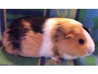 Smooth coated Adult Guinea pig sow