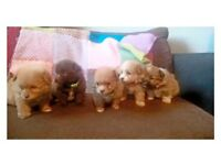 5 Beautiful stunning shizpom puppys for sale