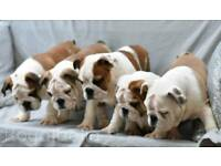 Chunky English Bulldog Boys - Champion Sired