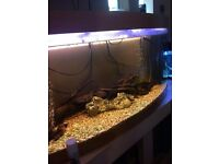 Jewel 180ltr bow front fish tank for sale
