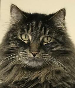 "Adult Male Cat - Maine Coon-Tabby: ""Kapok"""