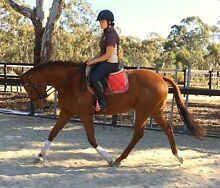 Lucy 6yo OTTTB mare ideal prospect Seymour Mitchell Area Preview
