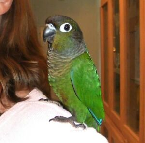 baby green cheek conure parrot friendly handfed for sale