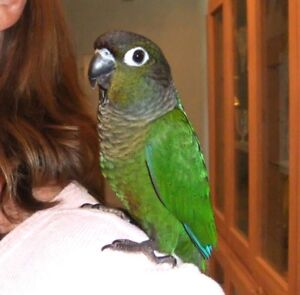 green cheek conure baby parrot friendly with free small cage