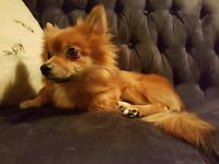 Beautiful Pomchi girl looking for home ASAP
