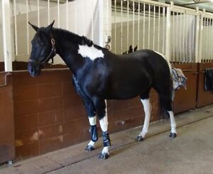 Beautiful Mare for 1/2 LEASE