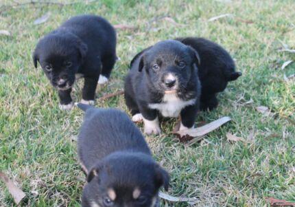 Border Collie X Red Kelpie Pups Birdwood Adelaide Hills Preview
