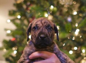 """Puppies!! Rare """"Perro De Presa Canario"""" pups for sale"""