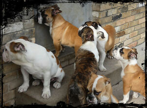 English Bulldog pups wanting their forever families now.