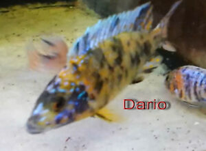 "Yellow,Blue and Black OB Peacock for sale Dec1 2016 Male 3"" London Ontario image 1"