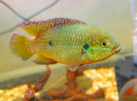 STUNNING Jewel cichlid tropical fish