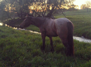 Quarter Horse Mare - Great Gaming Potential!