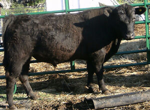BLACK ANGUS BULL FOR SALE.