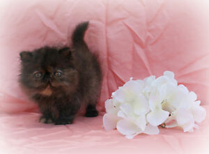 Persian Kittens - CFA Reg. Vetted/Vaccinated/Microchipped