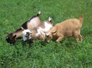 Pet Goats!!! Trio of adorable Nigerian Dwarf wethers fixed males