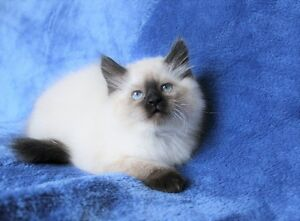 Ragdoll Seal point kittens are ready for their new homes.