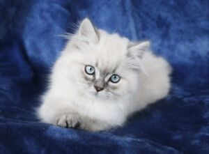Blue Eyed Persian Boy Kittens for Rehoming