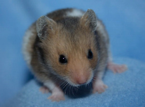 Baby hamsters available!