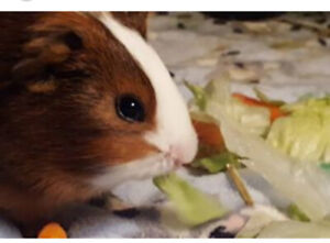 2 young guinea pigs for $20